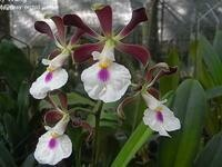 Encyclia cordigera 'Hinomaru' [syn. atropurpurea]