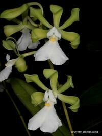 Encyclia cordigera var. alba [syn atropurpurea]