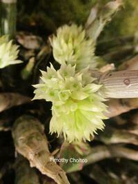 Dendrobium capituliflorum x sib