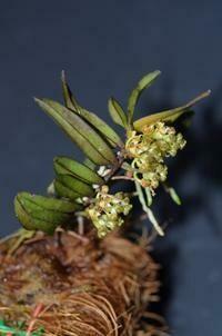Malleola seidenfadenia [Kew = Robiquetia]
