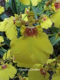 Oncidesa Sweet Sugar [Oncidium]