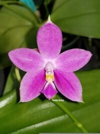 Phalaenopsis Jennifer Palermo (tetraspis x violacea)