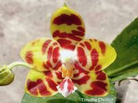 Phalaenopsis (Angdi Kolopaking x Dragon Tree Eagle 'DT-168')