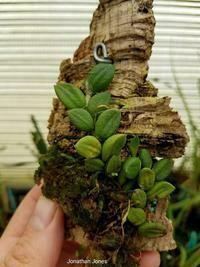 Dendrobium linguiforme [syn. Dockrillia linguiforme]
