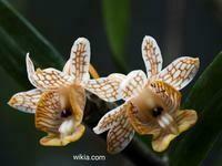 Dendrobium neomorale
