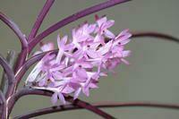 Ascocentrum christensonianum [Vanda]