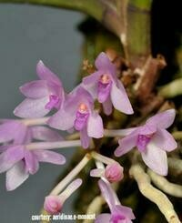 Ascocentrum pusillum [Kew = Vanda nana]