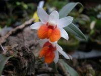 Dendrobium bellatulum  -