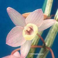 Dendrobium aphylum [variegated]