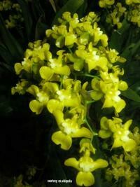 Oncidium chierophorum