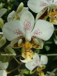 Phalaenopsis stuartiana f. punctatissima
