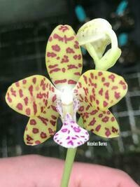 Phalaenopsis Little One  (Sedirea japonica x Vandopsis parishii)