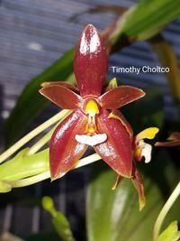 Phalaenopsis cornu-cervi var. chatalandae