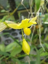 Dendrobium chrysocrepis [golden pouched Dendrobium]