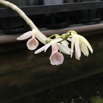 Dendrobium polyanthum