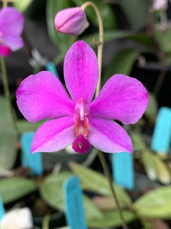 Phalaenopsis Siam Treasure