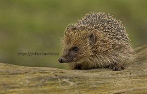 Hedgehog on tree