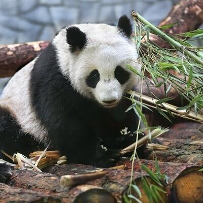NEW. Panda