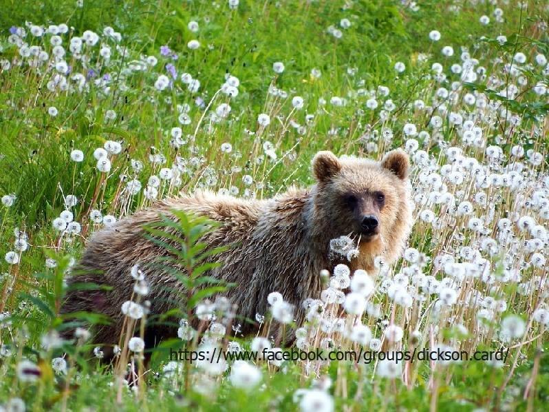 Dandelion bear.