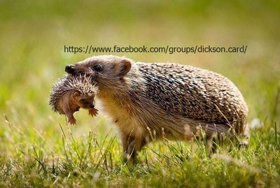 Hedgehog mother with a hedgehog