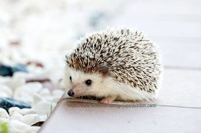 Hedgehog on a chair