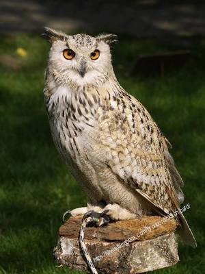 Owl with bridle