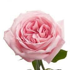 Пионовидная роза Охара