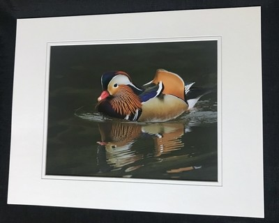 Mandarin Duck of Central Park NYC Print Small