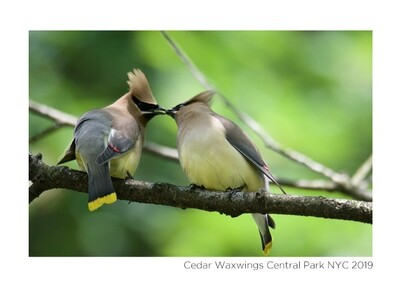 Note Card- Cedar Waxwings