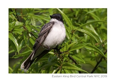 Note Card- Eastern King Bird