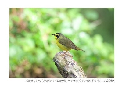Note Card- Kentucky Warbler
