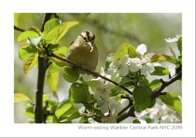 Note Card- Worm-eating Warbler