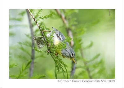 Note Card- Northern Parula
