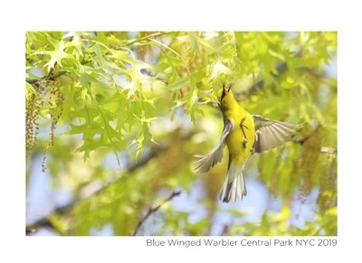 Note Card - Blue Winged Warbler