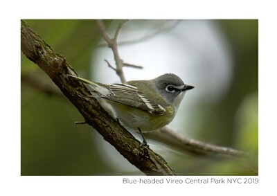 Note Card- Blueheaded Vireo