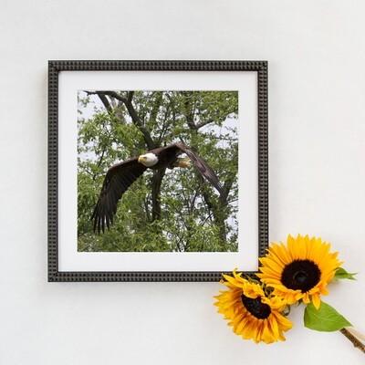 Bald Eagle  #3158 Framed Print