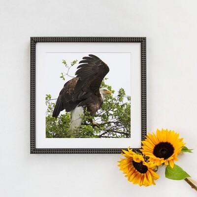 Bald Eagle  #3515 Framed Print