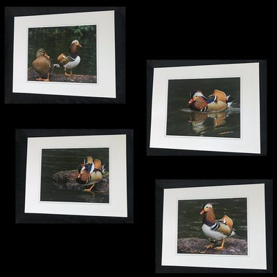 Mandarin Duck of Central Park NYC Print Set Small (A)