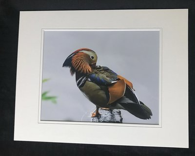 Mandarin Duck in Central Park NYC LG Print #6965