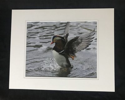 Mandarin Duck in Central Park NYC LG Print #6878