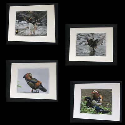 Mandarin Duck of Central Park NYC Print Set Small (B)