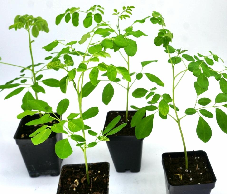 (4) LIVE Moringa oleifera saplings. Ready for transplant! Shipped  FREE -USPS priority. 00018