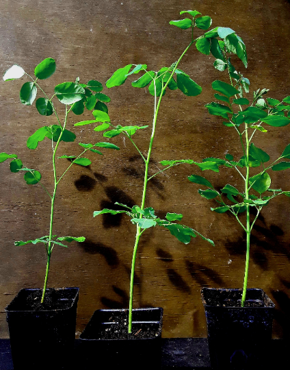 LIVE Moringa oleifera saplings. Ready for transplant! Shipped  FREE -USPS priority.