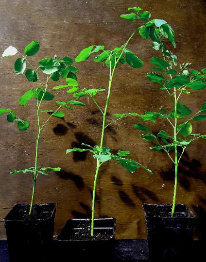 (4) LIVE Moringa oleifera saplings. Ready for transplant! Shipped  FREE -USPS priority.