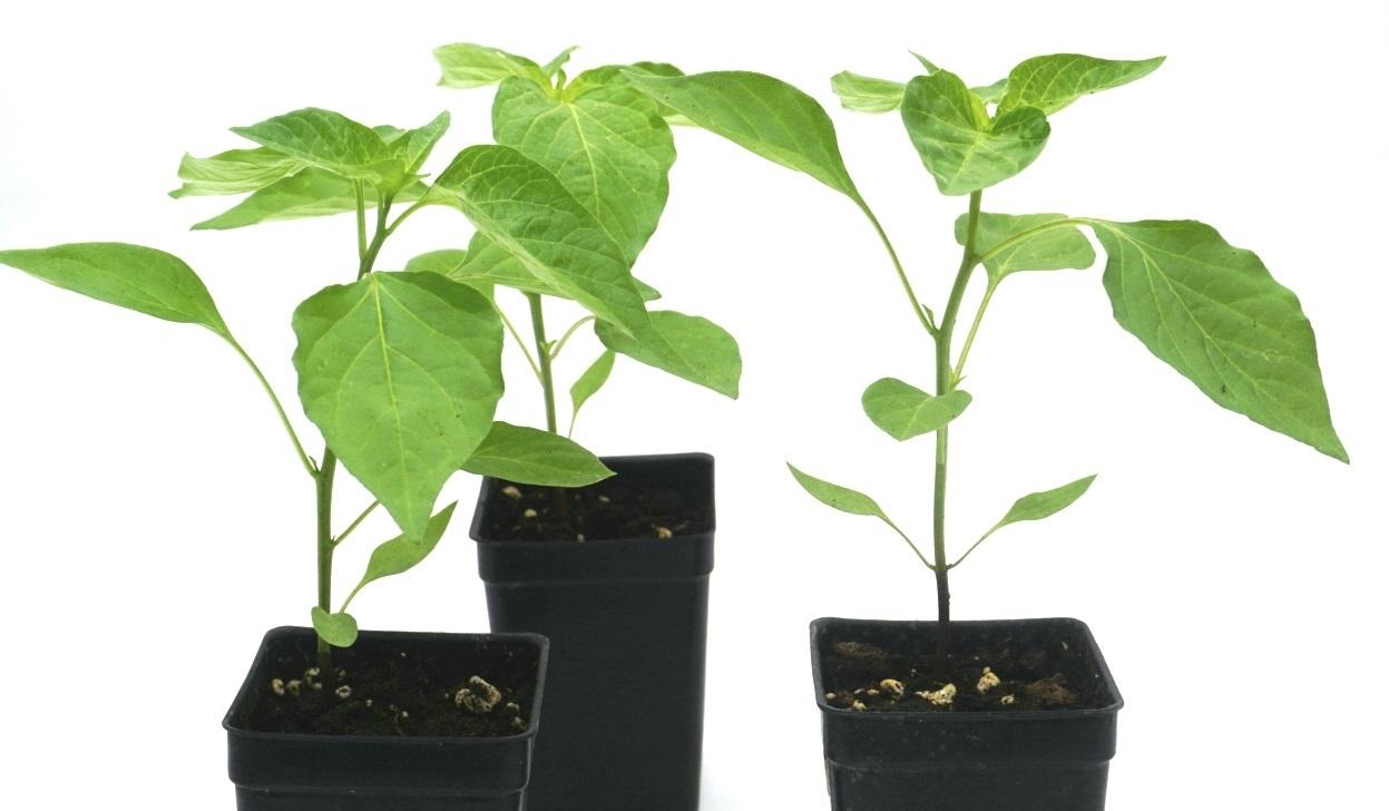 Live Aji Amarillo (Capsicum baccatum) pepper plants 00019