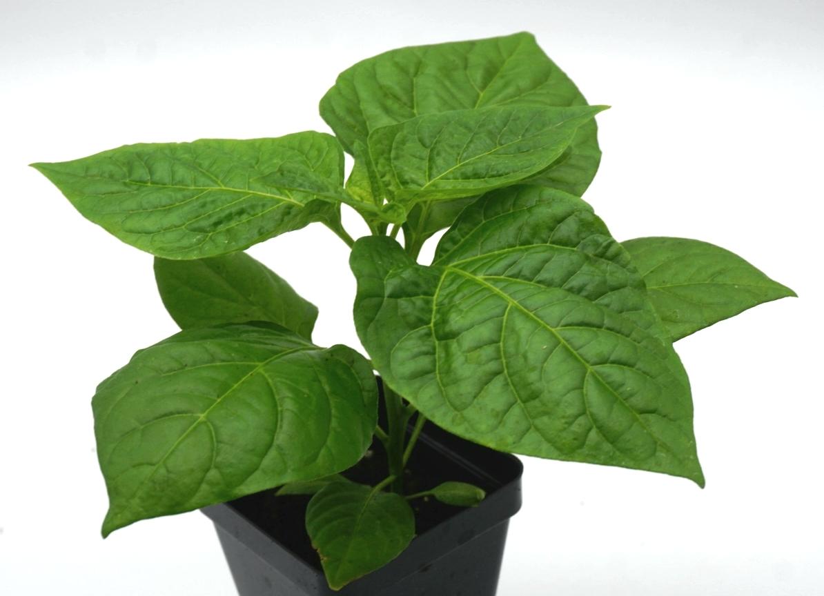 "Live Trinidad Yellow scorpion ""super hot"" pepper plants: 4""to 8"" Live plants. 00022"