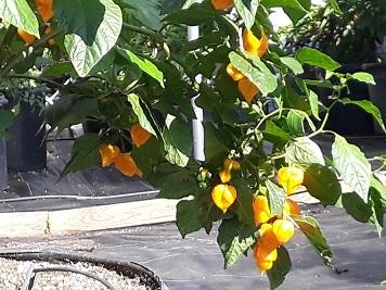 "Live Trinidad Yellow scorpion ""super hot"" pepper plants: 4""to 8"" Live plants."