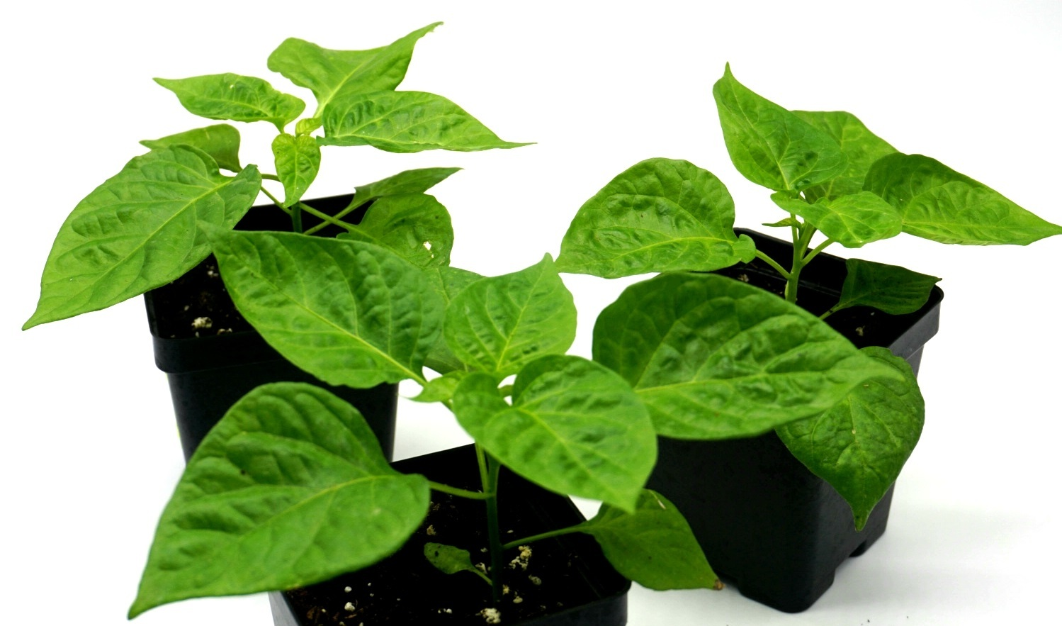 "LIVE ""Jamaican"" Chocolate habanero pepper plants, 6""-8"" tall, well rooted & shipped USPS priority. 00020"