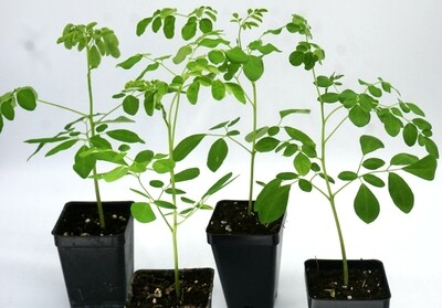 LIVE Moringa oleifera saplings. Ready for transplant!