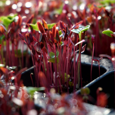 Microgreen Rainbow Seed Mix: 7-10 Day Grow Time.